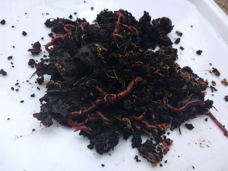 red wrigglers - compost kit